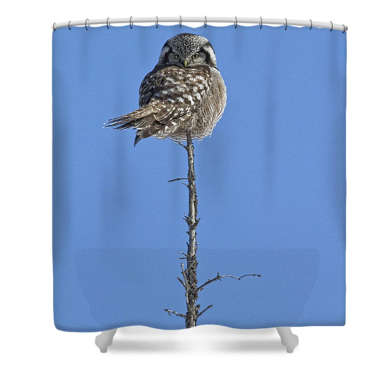 Light Shower Curtain featuring the photograph Northern Hawk Owl by Robert Postma