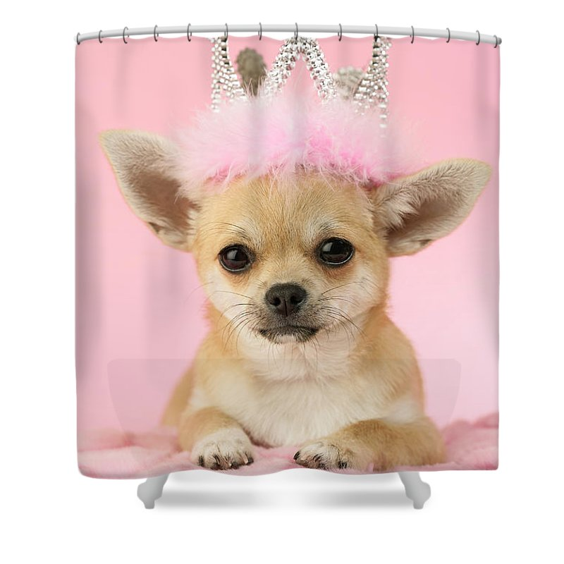 Chihuahua Shower Curtain Featuring The Photograph Queen By MGL Meiklejohn Graphics Licensing