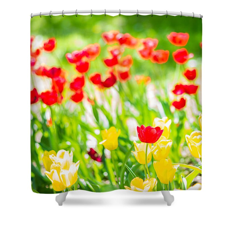 Flower Shower Curtain featuring the photograph Sun Drenched Tulips - Featured 3 by Alexander Senin