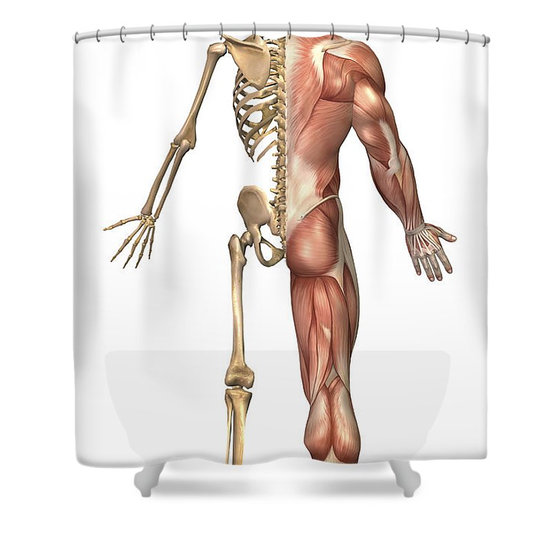 Vertical Shower Curtain featuring the digital art The Human Skeleton And Muscular System by Stocktrek Images