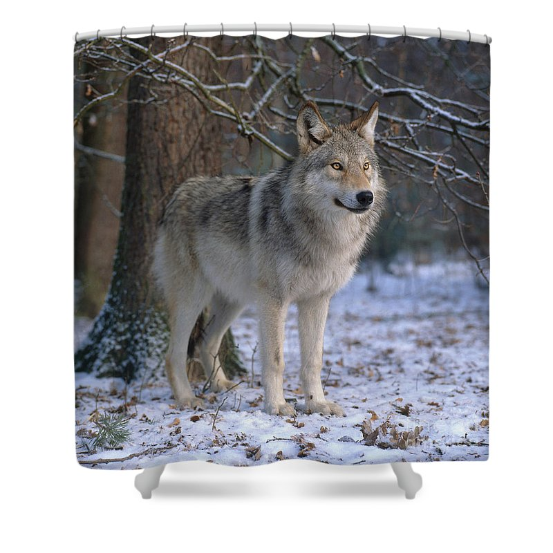 Gray Wolf Shower Curtain featuring the photograph Timber Wolf by Hans Reinhard
