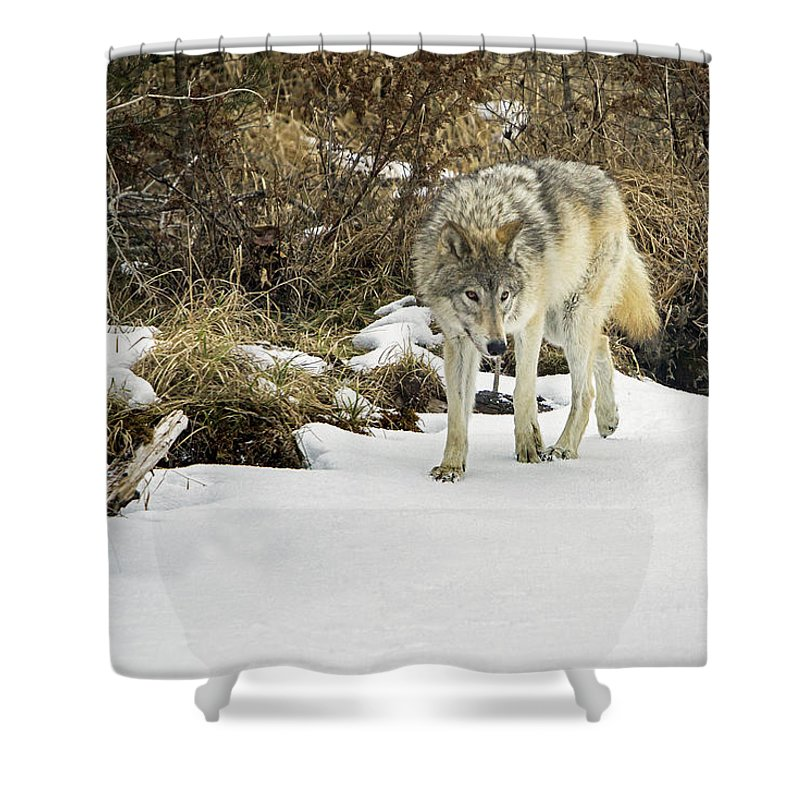 Wolf Shower Curtain featuring the photograph Wolf River by Jack Bell