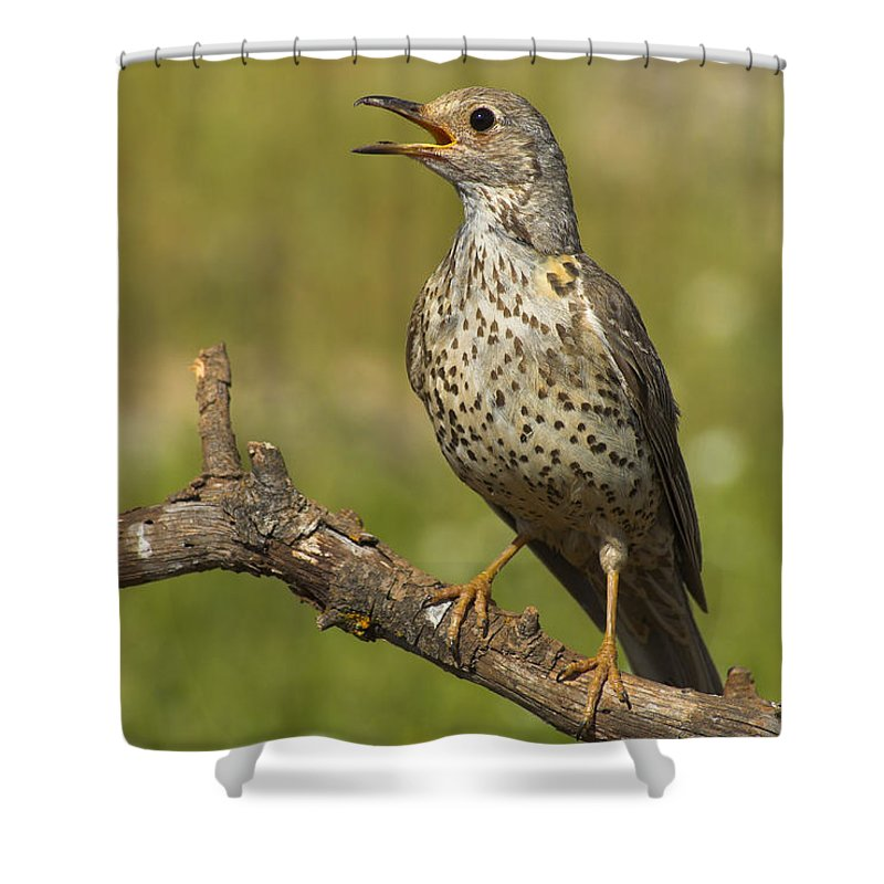 Birds Shower Curtain featuring the photograph Zorzal Real by Guido Montanes Castillo