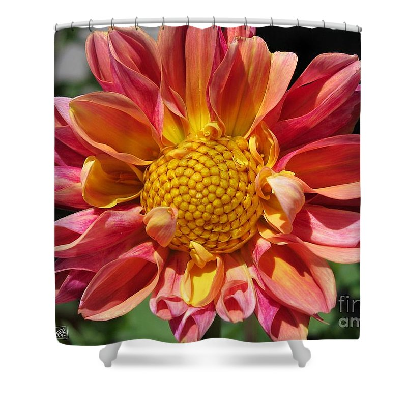 Dahlia Shower Curtain featuring the photograph Dahlia From The Showpiece Mix by J McCombie