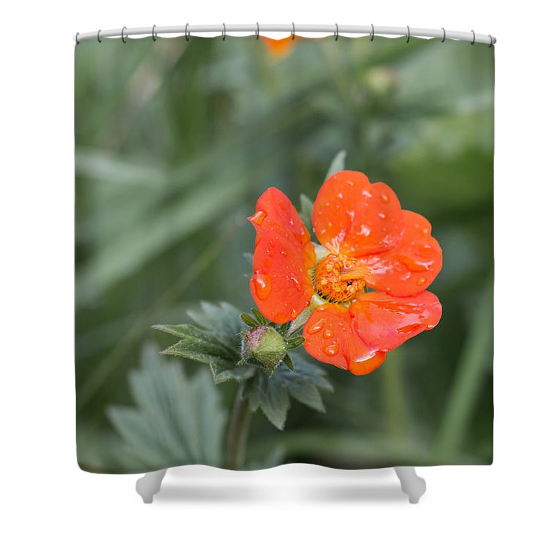 Bulgaria Shower Curtain featuring the photograph Scarlet Avens Orange Wild Flower by Jivko Nakev