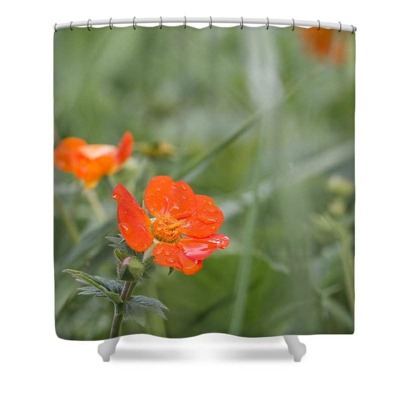 Bulgaria Shower Curtain featuring the photograph Scarlet Avens Orange Wild Flower by Jivko Nakev