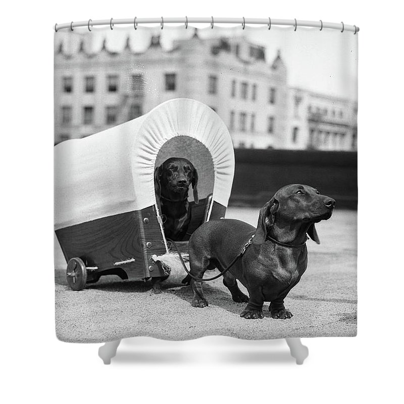 1930s Two Dachshund Dogs One Pulling Shower Curtain For Sale By Vintage Images