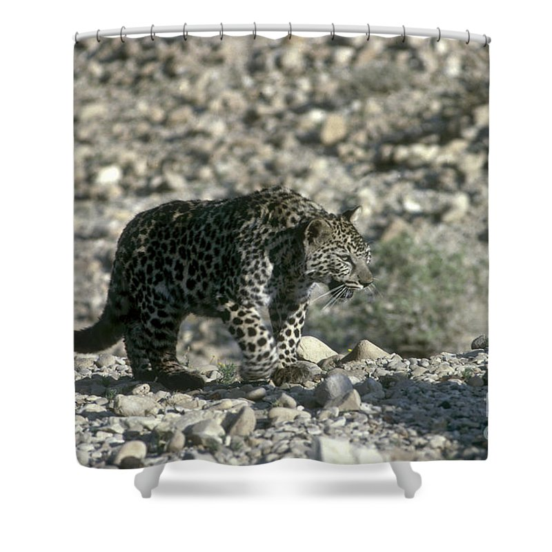 Leopard Shower Curtain featuring the photograph Arabian Leopard Panthera Pardus 1 by Eyal Bartov