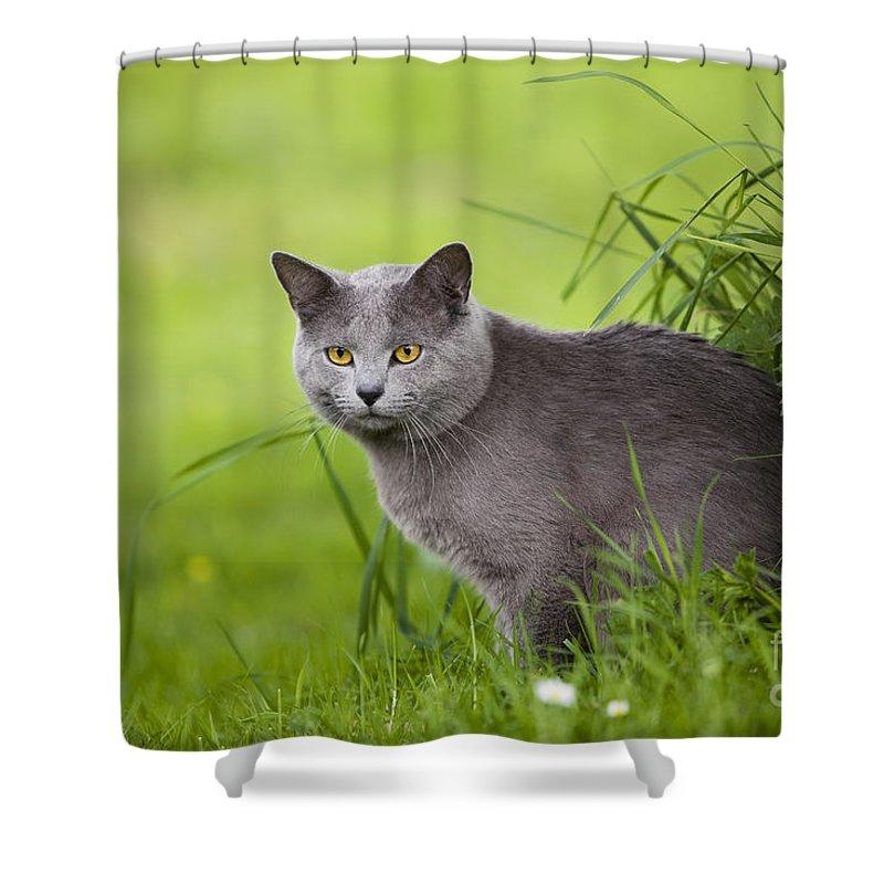 Chartreux Shower Curtains