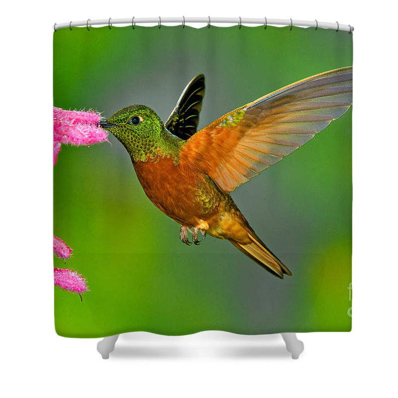 Animal Shower Curtain featuring the photograph Chestnut-breasted Coronet by Anthony Mercieca