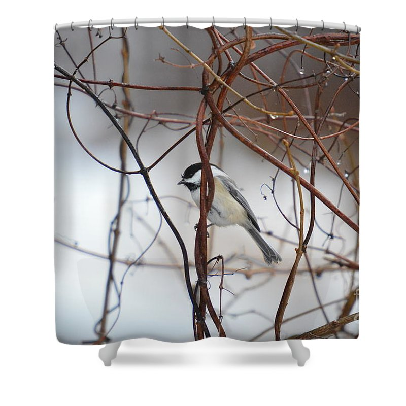 Chickadee Shower Curtain featuring the photograph Chickadee On Woodvine by Thomas Phillips