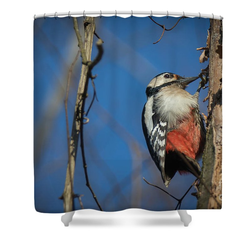 Birds Shower Curtain featuring the photograph Great Spotted Woodpecker by Jivko Nakev