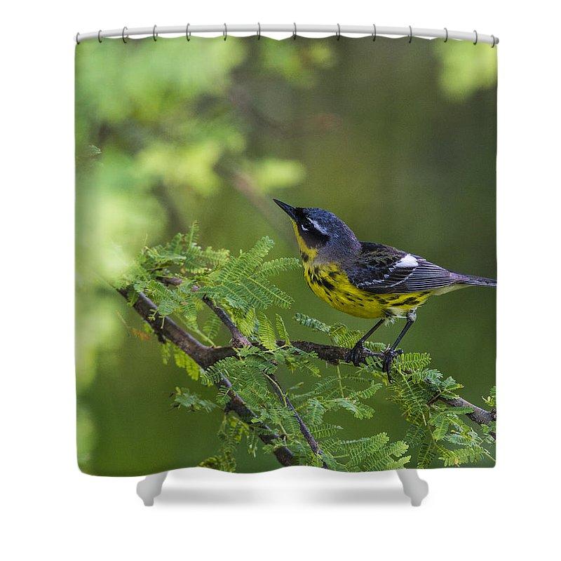 Doug Lloyd Shower Curtain featuring the photograph Magnolia Warbler by Doug Lloyd