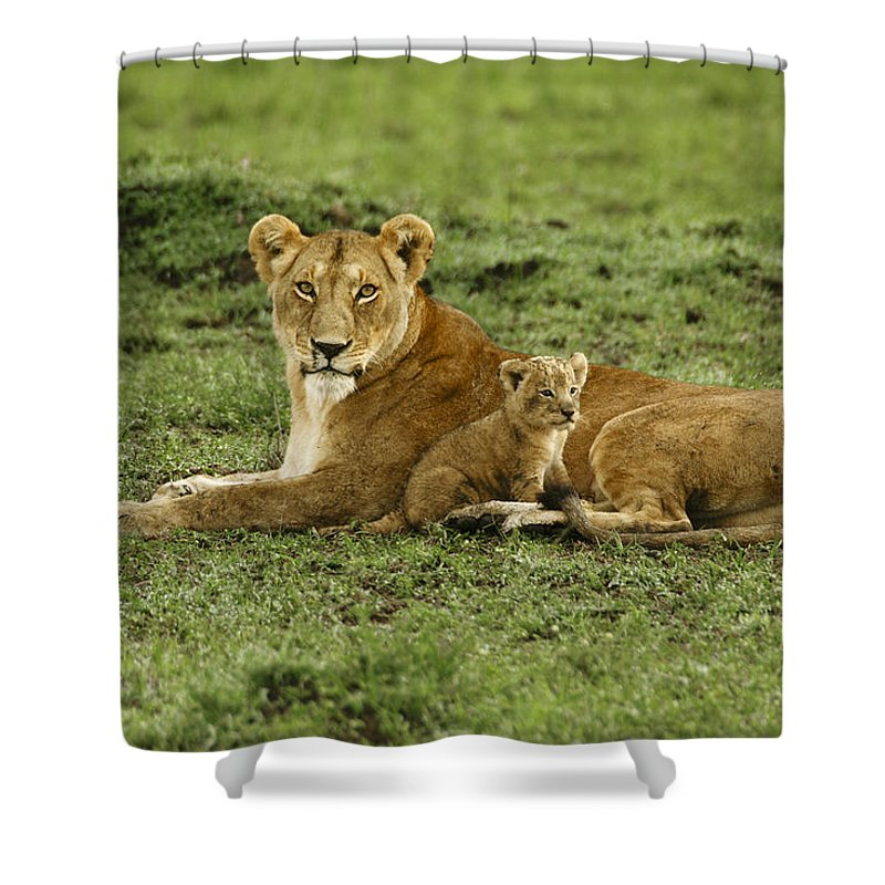 Lion Shower Curtain featuring the photograph Mama's Little Baby by Michele Burgess