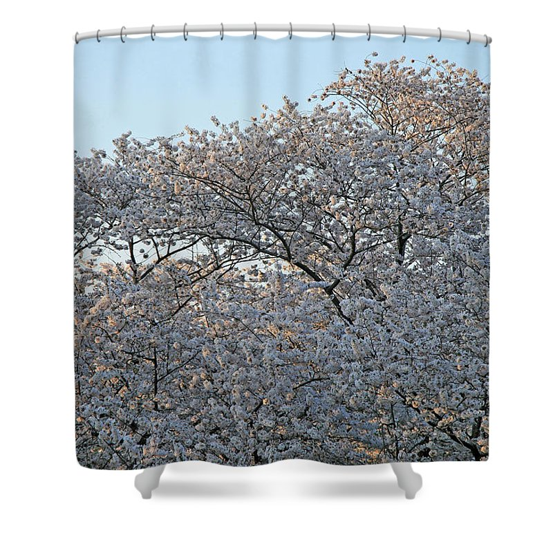 Cherry Blossoms Shower Curtain featuring the photograph The Simple Elegance Of Cherry Blossom Trees by Cora Wandel
