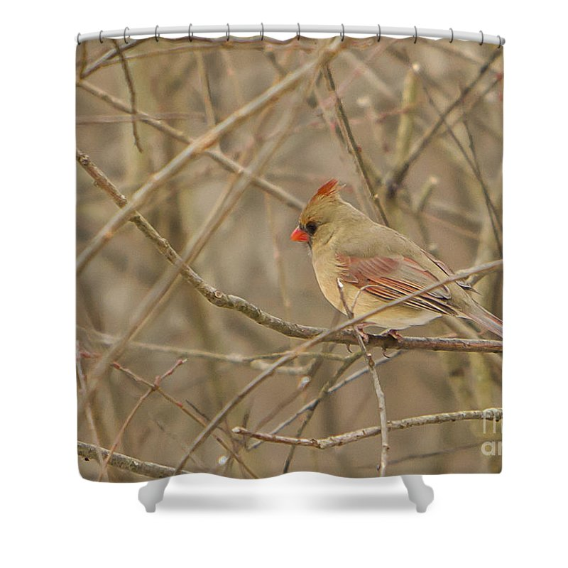 Bird Shower Curtain featuring the photograph Winter Cardinal by Brad Marzolf Photography