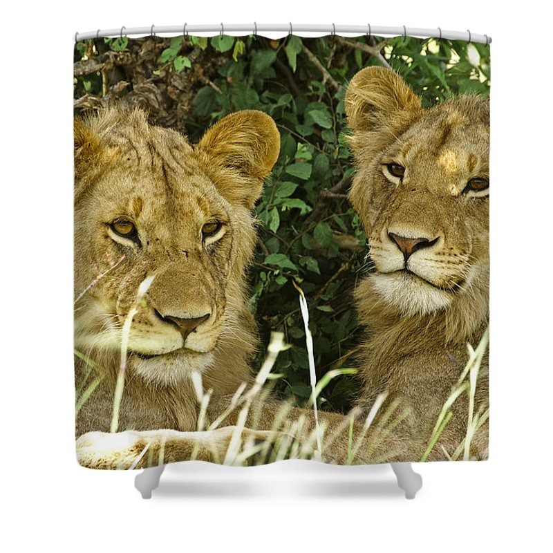 Lion Shower Curtain featuring the photograph Young Brothers by Michele Burgess