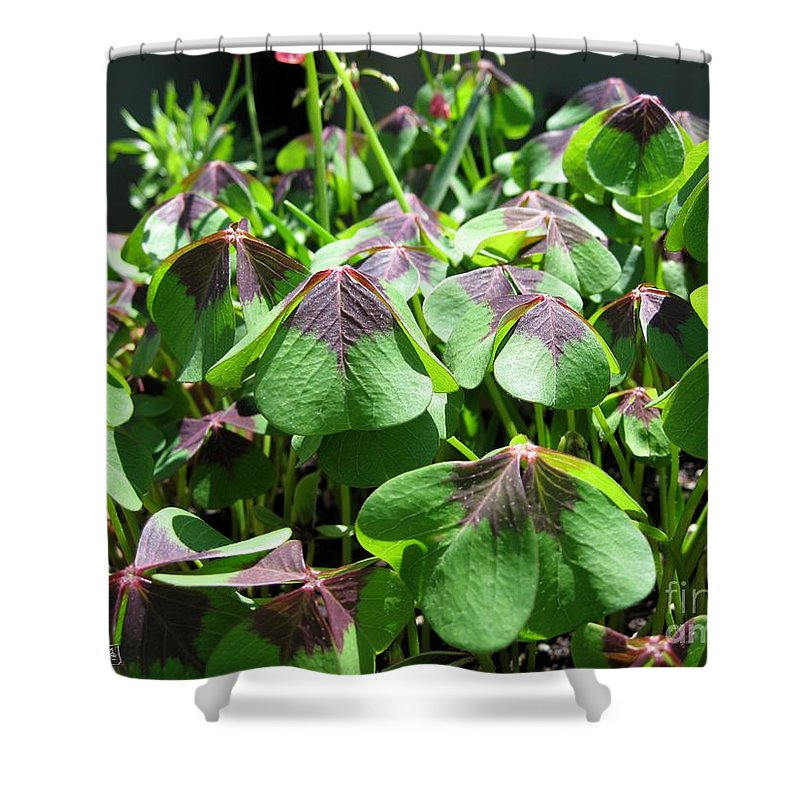 Mccombie Shower Curtain featuring the photograph Oxalis Deppei Named Iron Cross by J McCombie