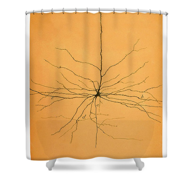 Pyramidal Cell Shower Curtain featuring the photograph Pyramidal Cell In Cerebral Cortex, Cajal by Science Source