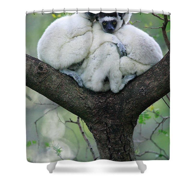 00621162 Shower Curtain featuring the photograph Verreauxs Sifaka Propithecus Verreauxi by Cyril Ruoso