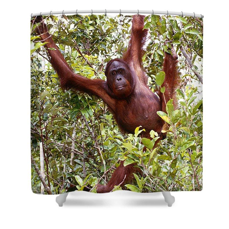 Orangutan Shower Curtain featuring the photograph Wild Orangutan by Art Wolfe
