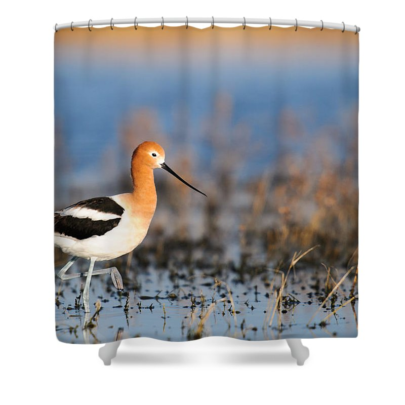 Alberta Shower Curtain featuring the photograph American Avocet by Brandon Smith