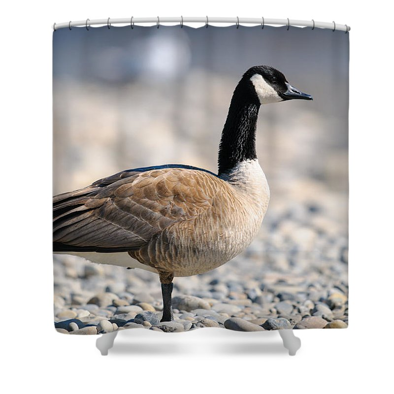 Alberta Shower Curtain featuring the photograph Canada Goose by Brandon Smith