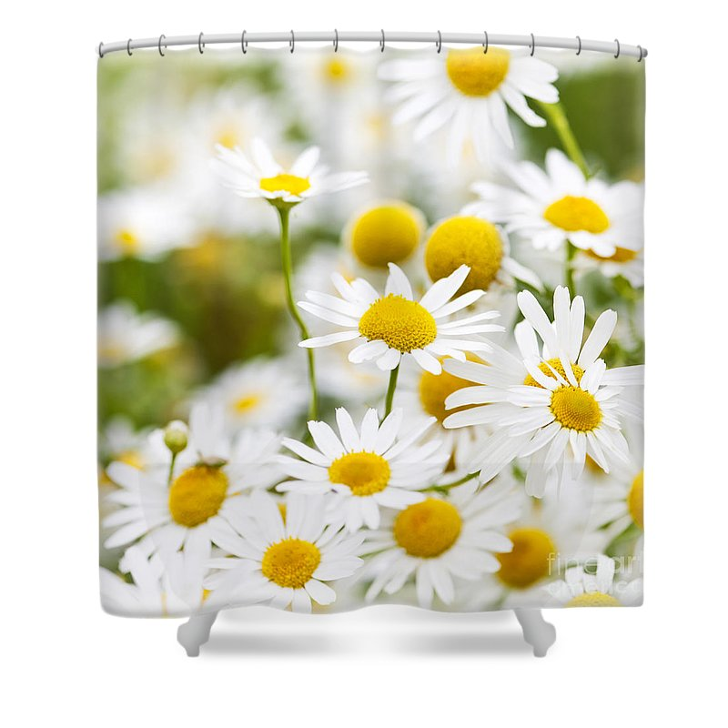 Chamomile Shower Curtain featuring the photograph Chamomile Flowers by Elena Elisseeva