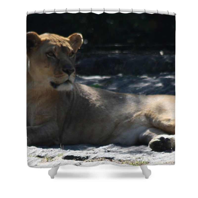 Female Lion Shower Curtain featuring the photograph Female Lion by John Telfer