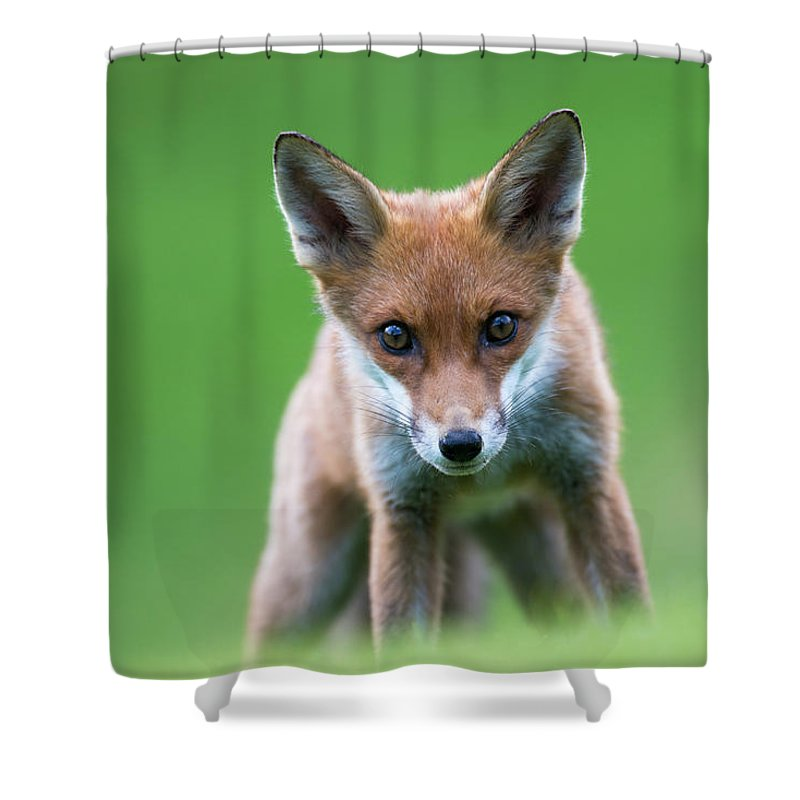Conspiracy Shower Curtain featuring the photograph Red Fox Cub Portrait by James Warwick