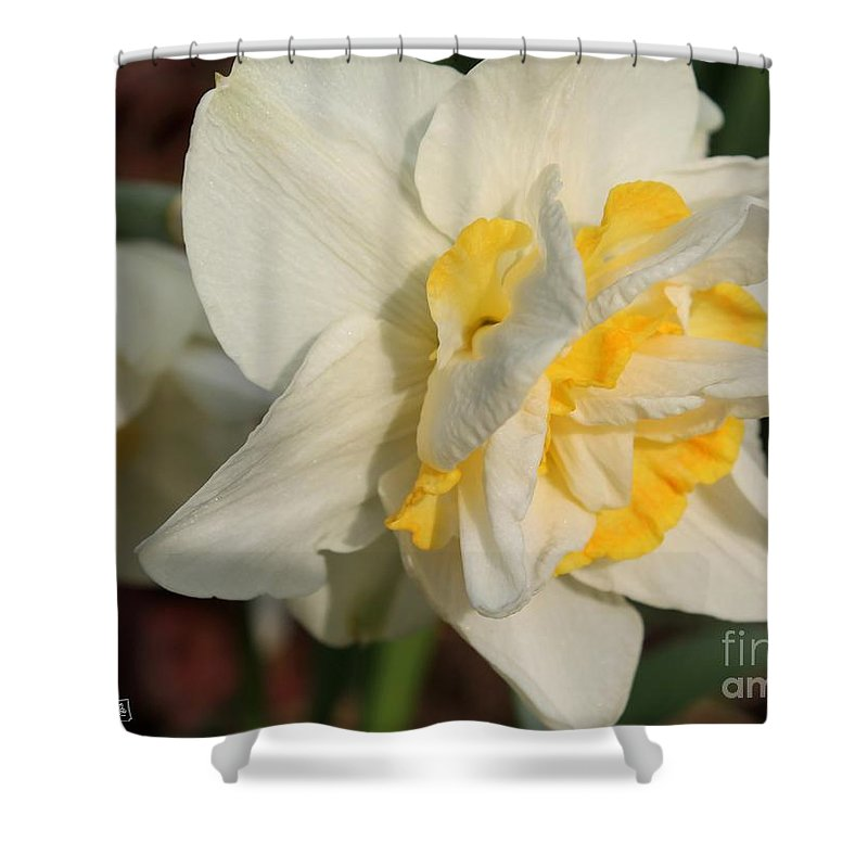 Mccombie Shower Curtain featuring the photograph Double Daffodil Named White Lion by J McCombie