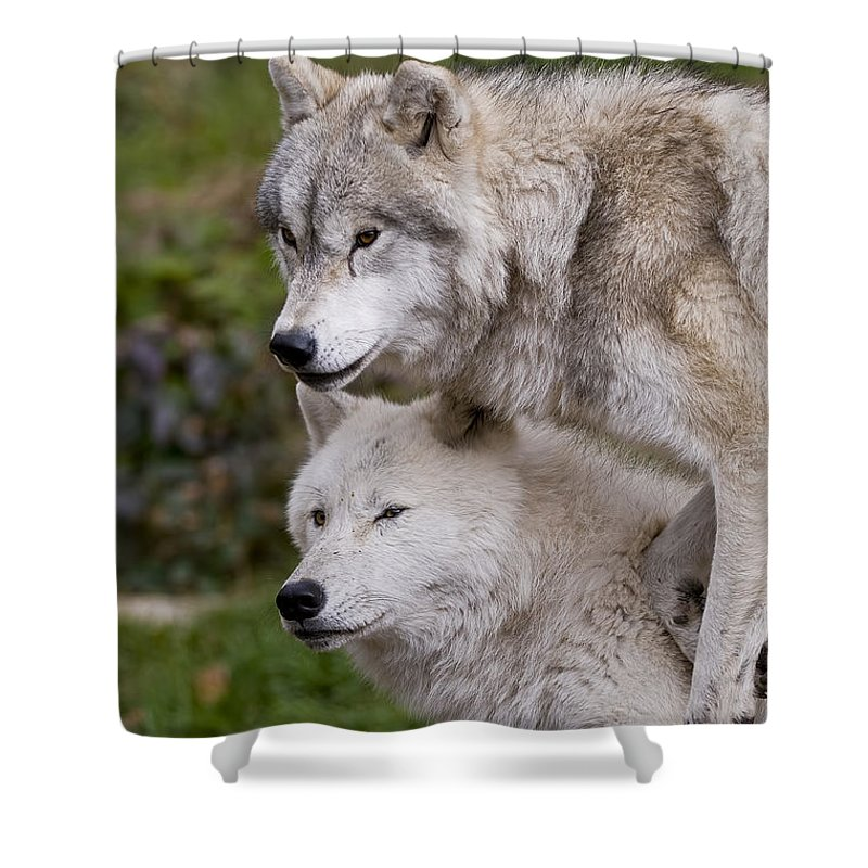Arctic Wolf Photography Shower Curtain featuring the photograph Arctic Wolves by Wolves Only
