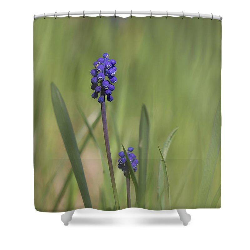 Bulgaria Shower Curtain featuring the photograph Grape Hyacinth by Jivko Nakev