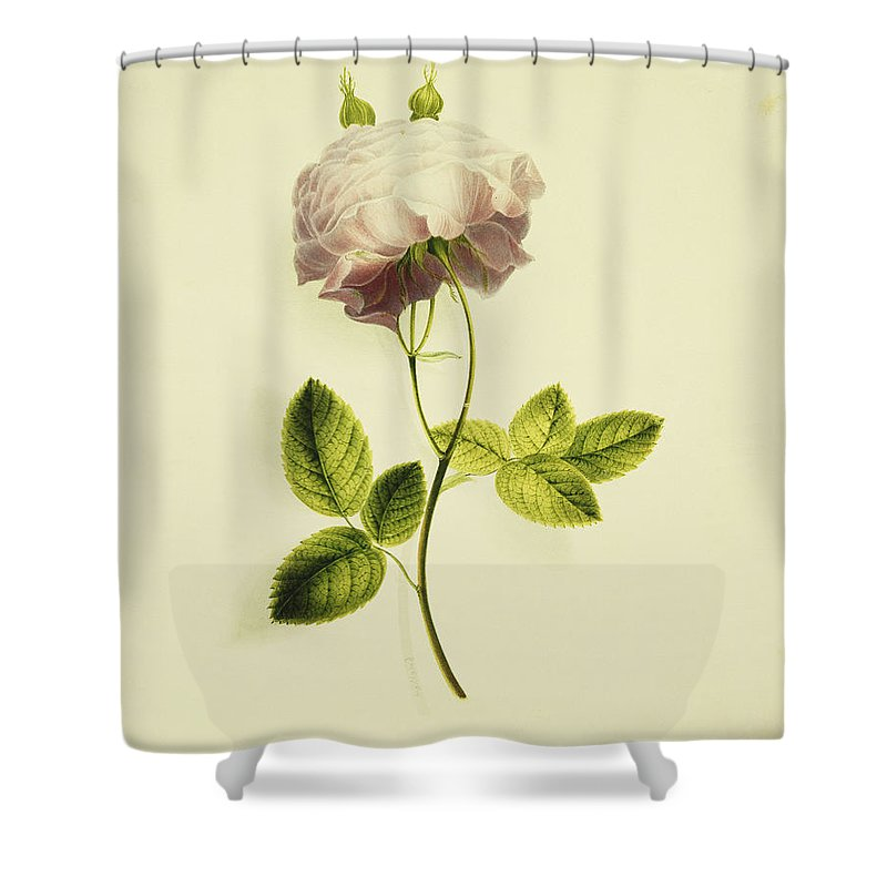 Biology Shower Curtain featuring the painting A Pink Rose by James Holland