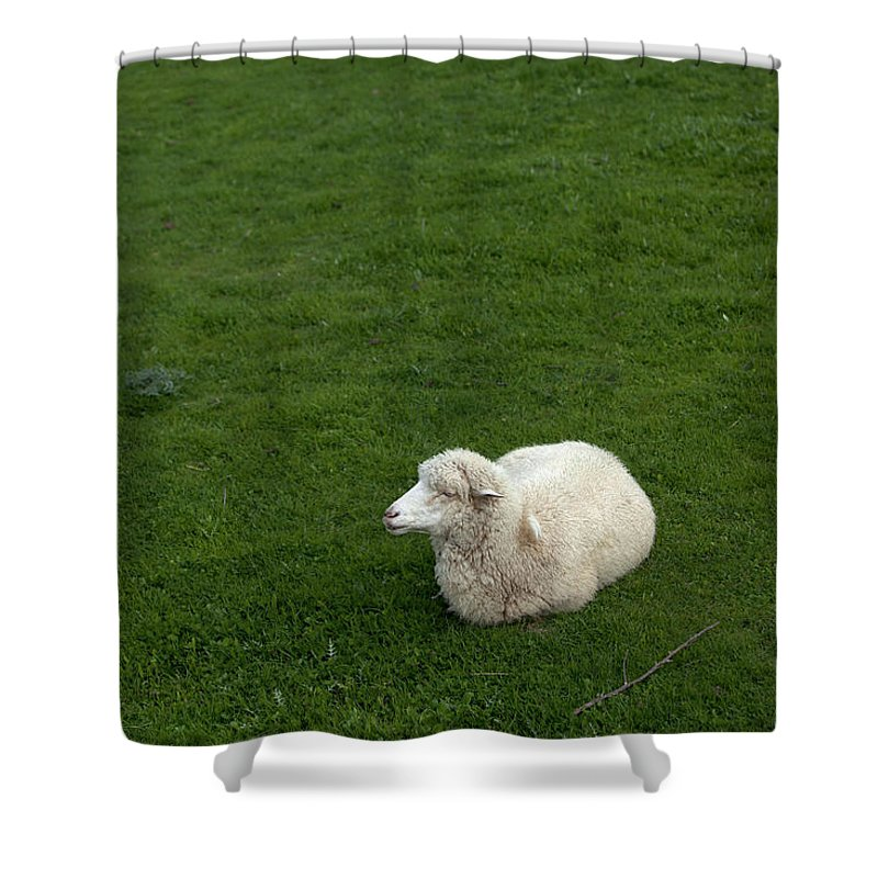 Villaluenga Del Rosario Shower Curtain featuring the photograph A Sheep Stands In A Green Prairie by Chico Sanchez