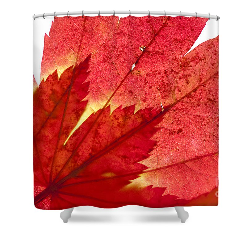 Abstract Shower Curtain featuring the photograph Acer From Beneath by Anne Gilbert