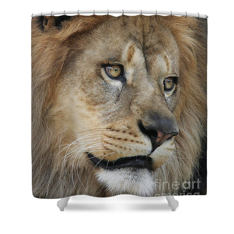 Lion Shower Curtain featuring the photograph African Lion #5 by Judy Whitton