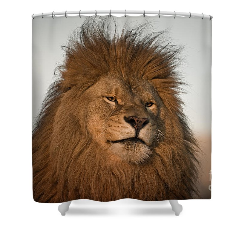 Lion Shower Curtain featuring the photograph African Lion-animals-image by Wildlife Fine Art