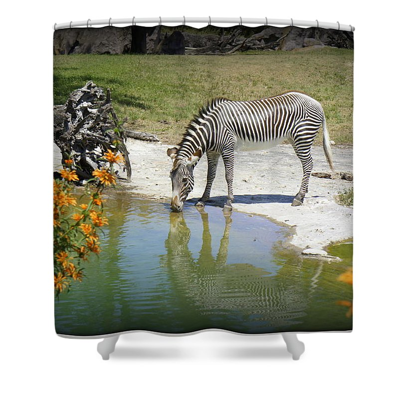 Zebra Shower Curtain featuring the photograph African Queen by Laurie Perry