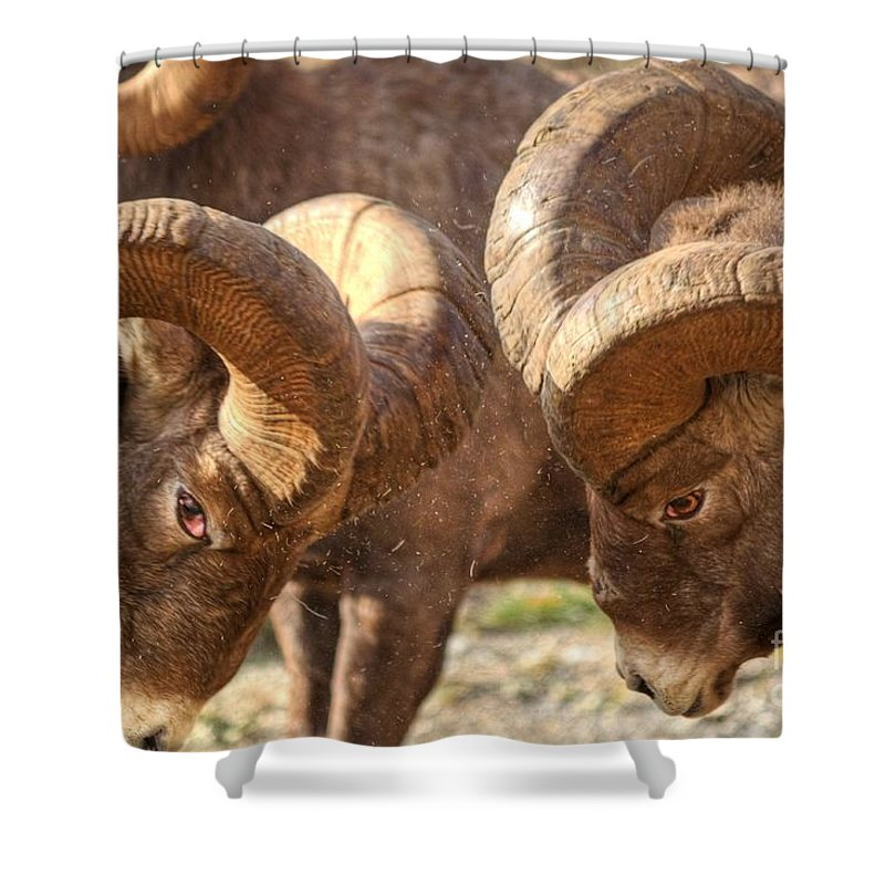 Bighorn Ram Shower Curtain featuring the photograph After Impact by James Anderson