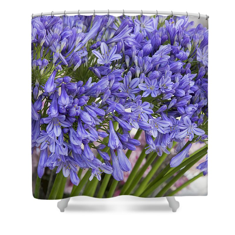 Agapanthus Shower Curtain featuring the photograph Agapanthus Flower Stalk Display At Florist by Jit Lim