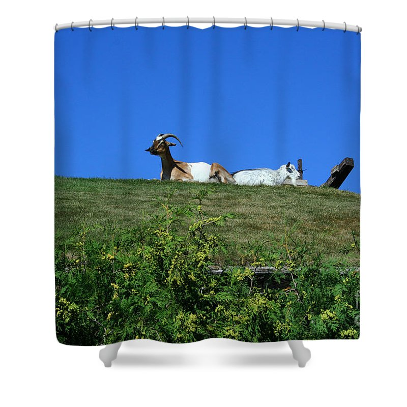 Al Johnsons Shower Curtain featuring the photograph Al Johnsons Resturant Goats by Tommy Anderson