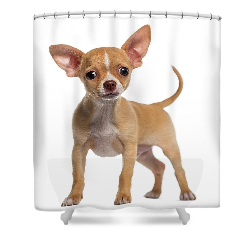 Pets Shower Curtain featuring the photograph Alert Chihuahua Puppy 3 Months Old by Life On White