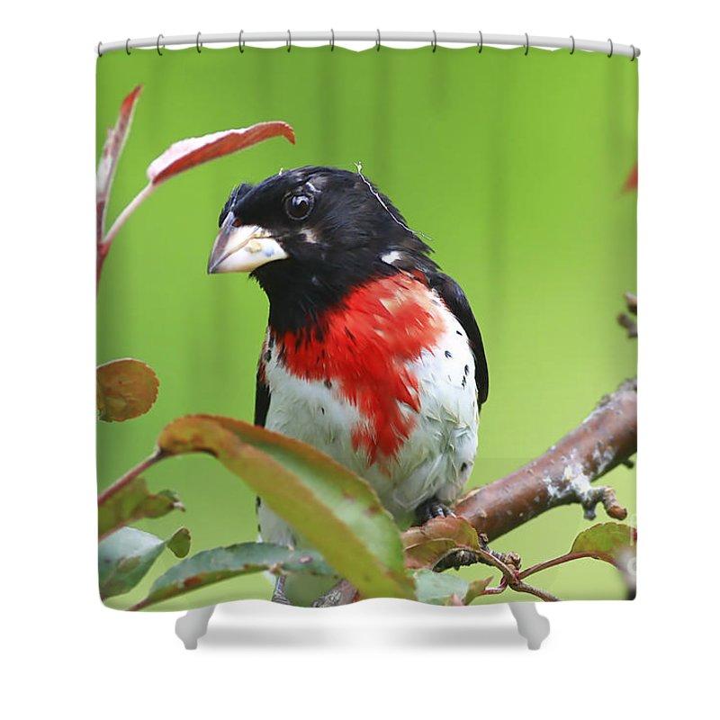 Grosbeak Shower Curtain featuring the photograph Alittle Ruffled by Deborah Benoit