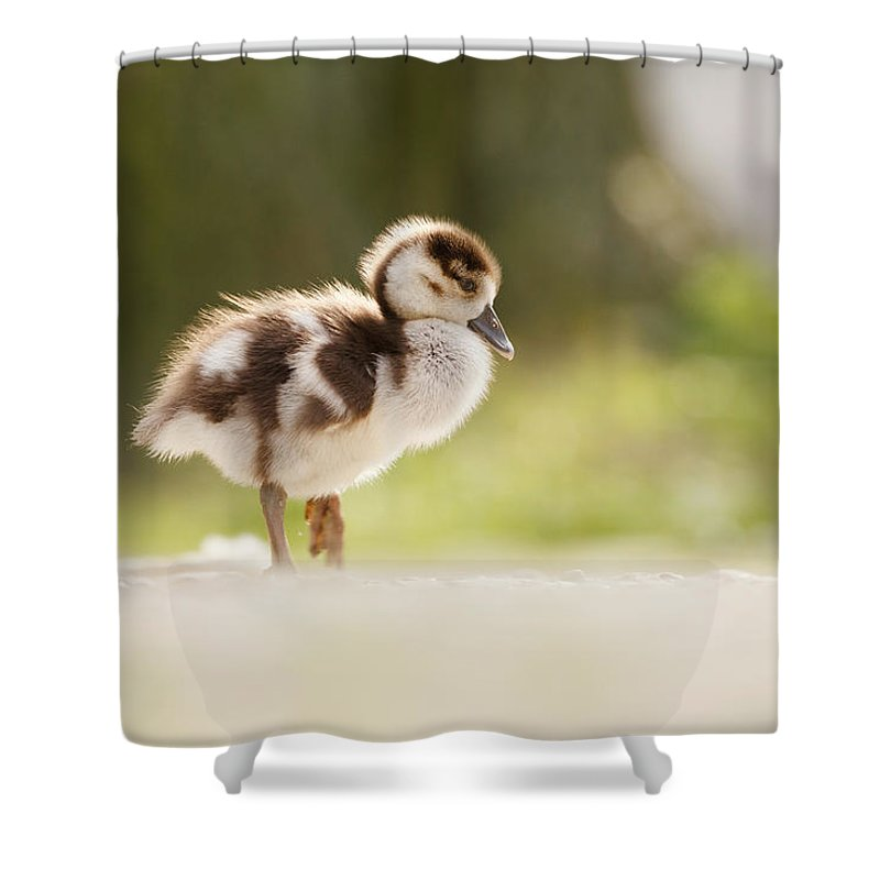 Alopochen Aegyptiacus Shower Curtain featuring the photograph All Alone - Egyptean Gosling And A Tree by Roeselien Raimond