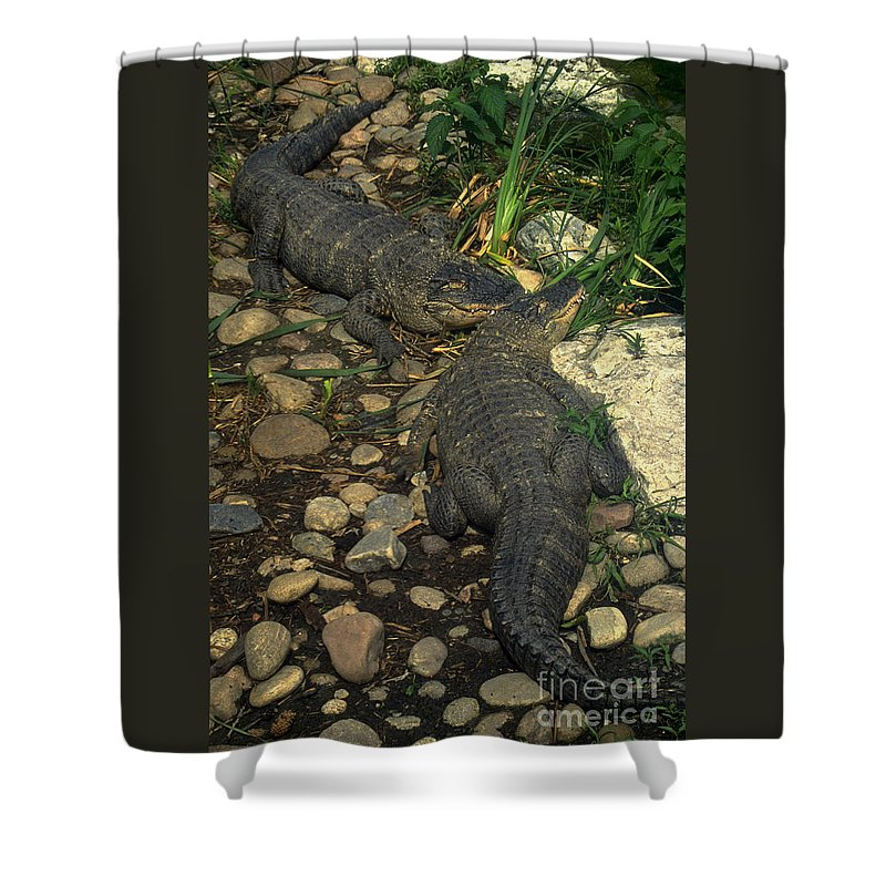 Alligator Shower Curtain featuring the photograph American Alligators by Gary Gingrich Galleries