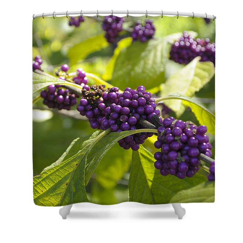Verbenaceae Shower Curtain featuring the photograph American Beautyberry -callicarpa Americana by Csaba Friss
