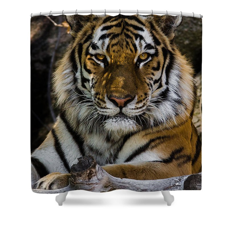 Tiger Shower Curtain featuring the photograph Amur Tiger Watching You by Ernie Echols