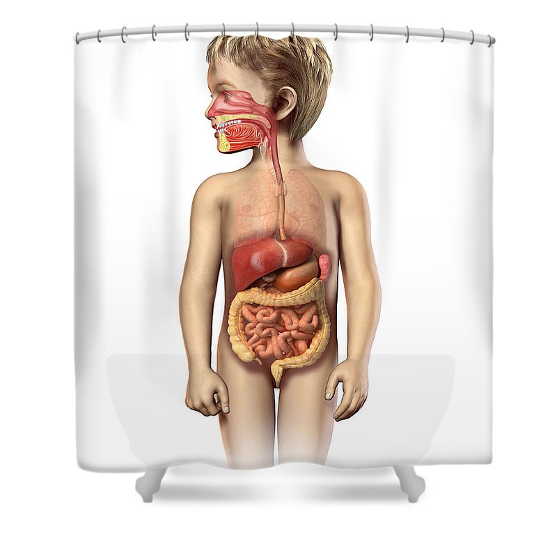 Anatomy Shower Curtain featuring the digital art Anatomy Of A Childs Full Digestive by Leonello Calvetti