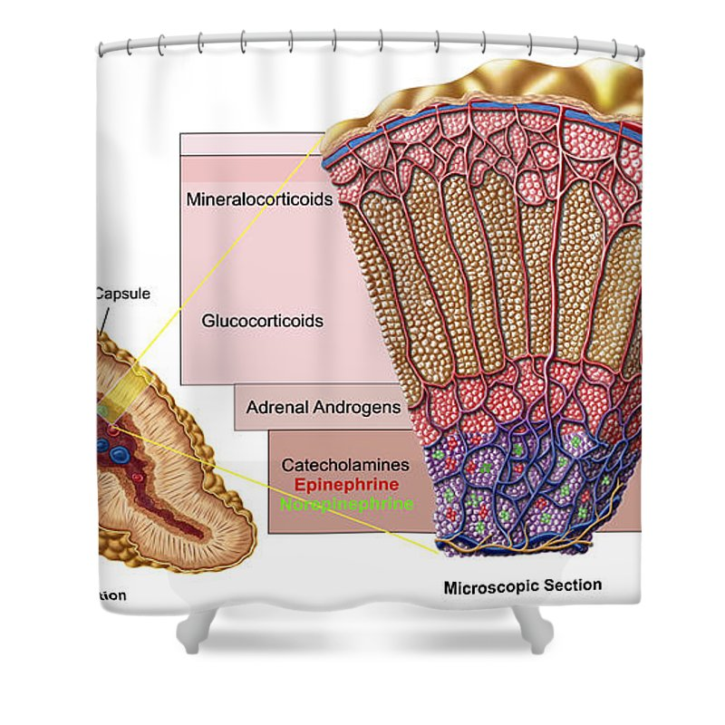 Anatomy Of Adrenal Gland, Cross Section Shower Curtain for Sale by ...